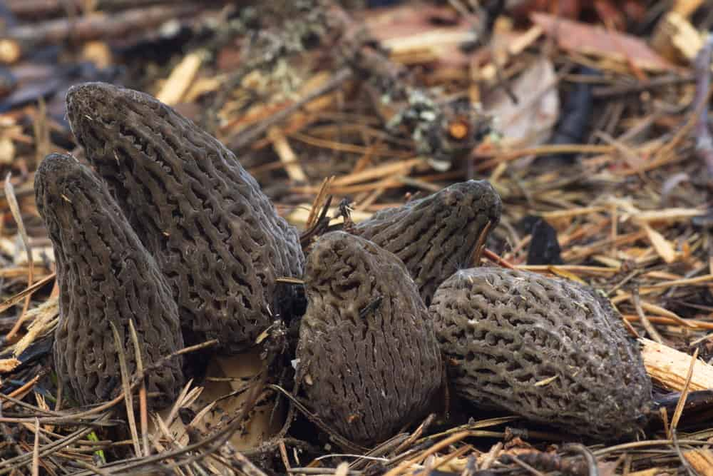how long are mushrooms good for morels